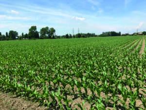 La semina del mais quest'anno è stata effettuata a fine marzo. L'emergenza delle piantine è risultata molto buona.